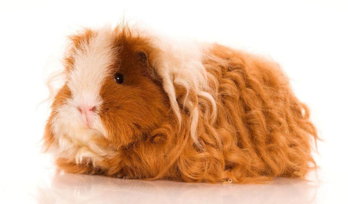 Cochon d'Inde : quelle race choisir ?