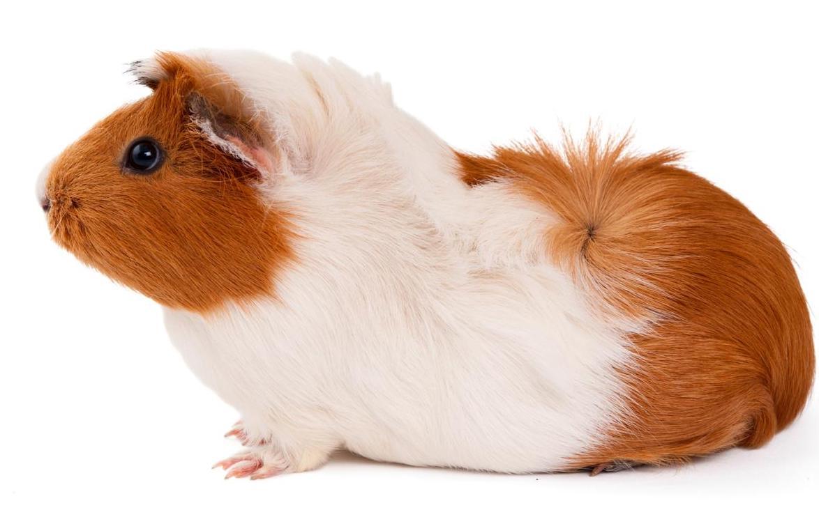 cochon d'inde cobaye.jpg