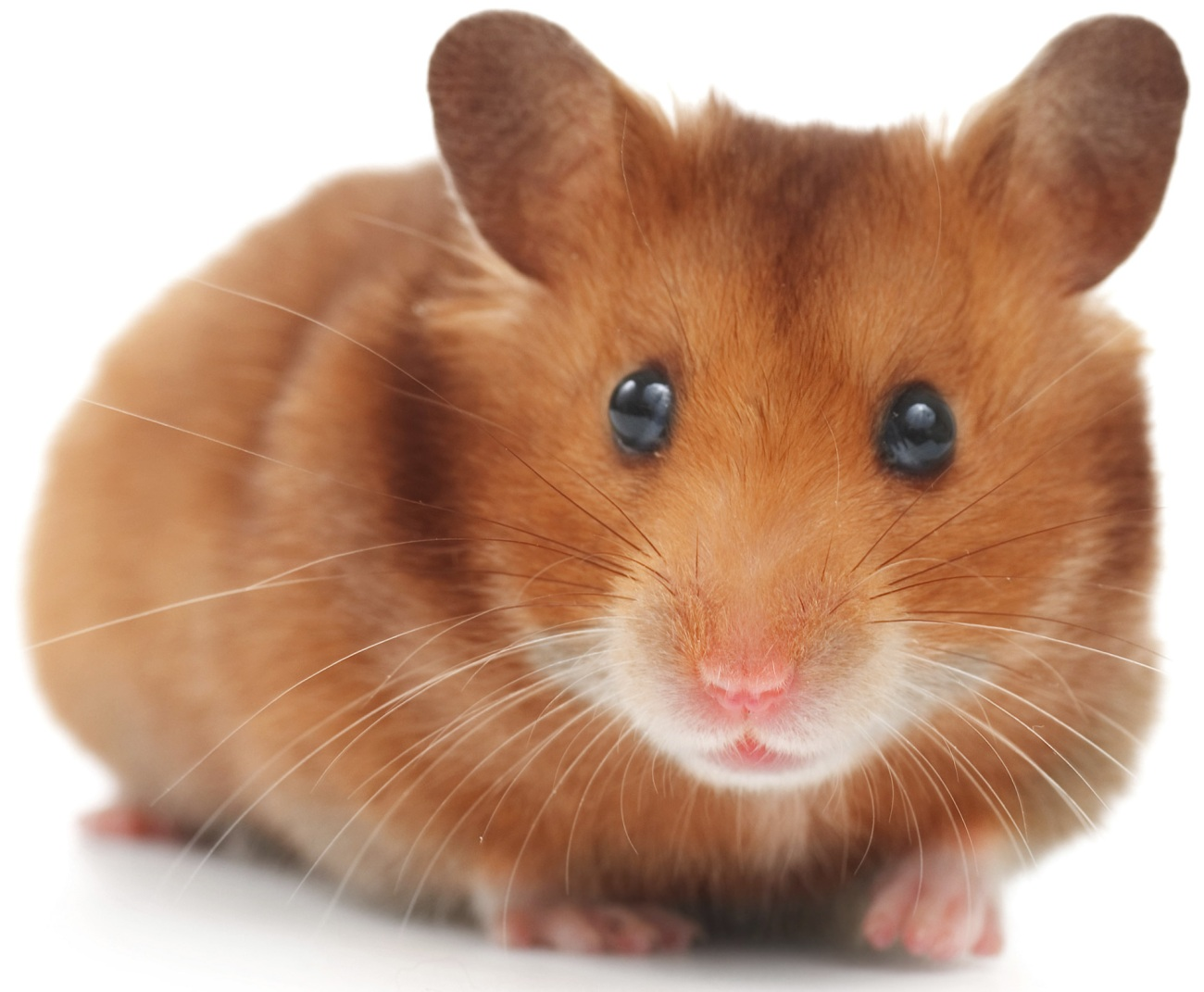 hamster dore
