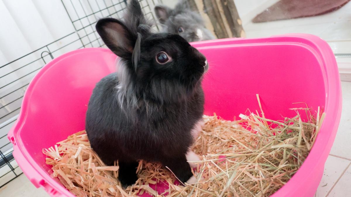 Comment apprendre à mon lapin à faire ses besoins dans un bac ?