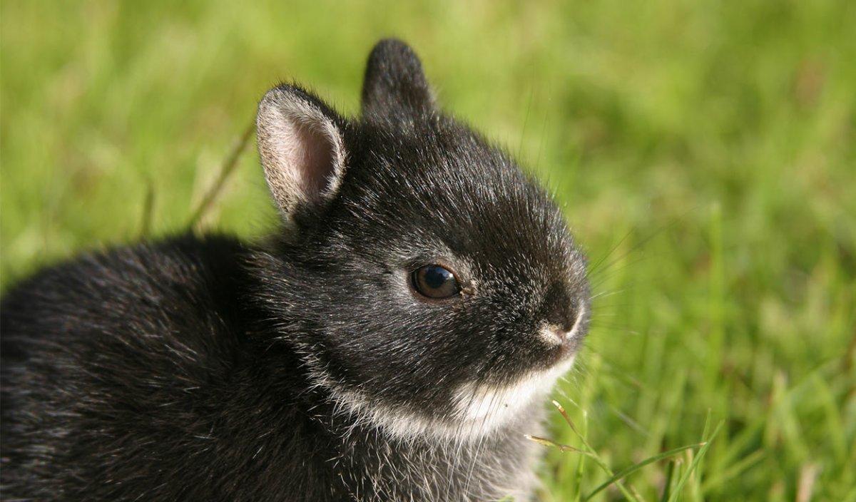 Les races de lapins nains