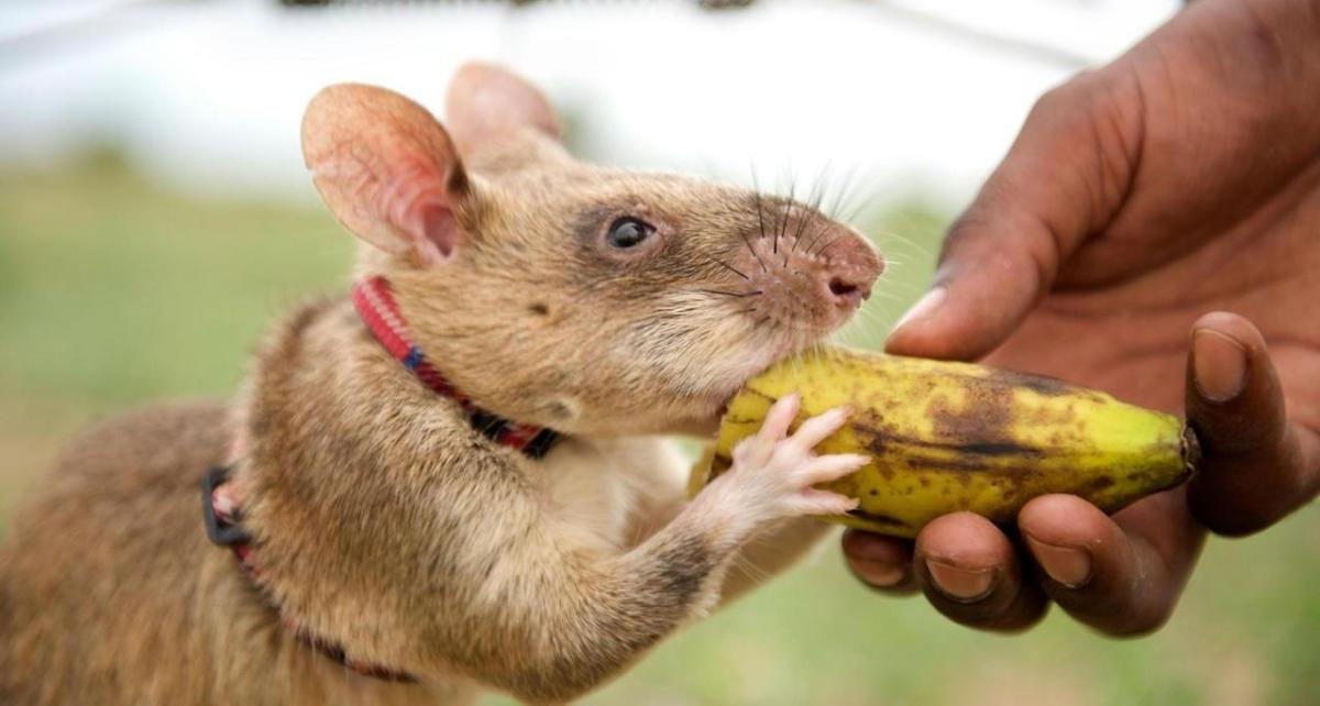 Le rat géant de Gambie, un héros qui sauve des vies