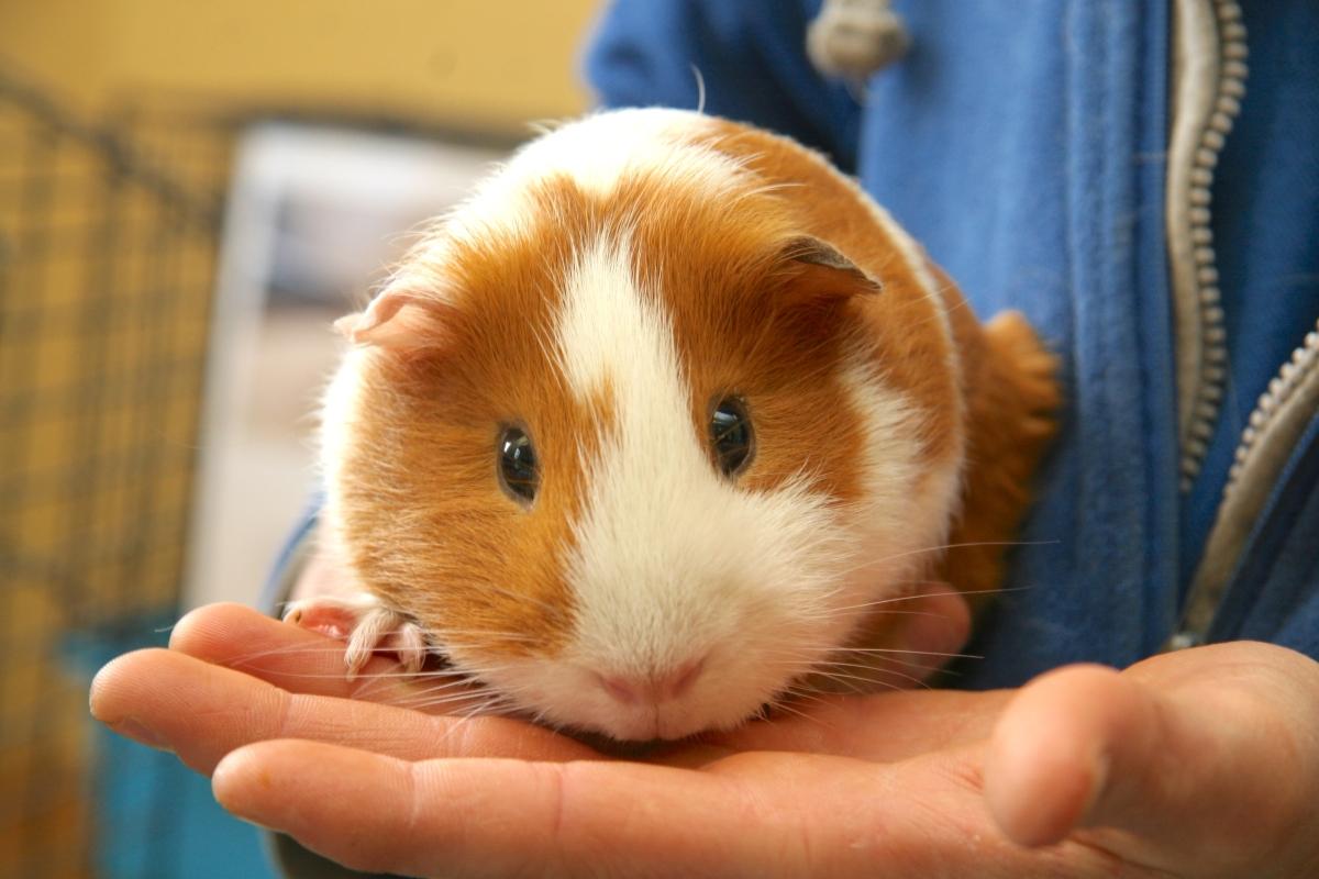 Les calculs urinaires chez le cochon d'Inde : une urgence absolue