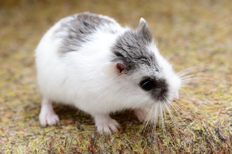 hamster de roborovski bleu