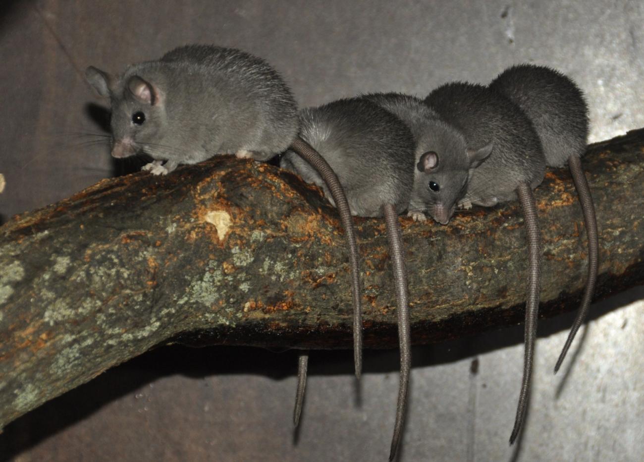 Acomys-cahirinus-noire