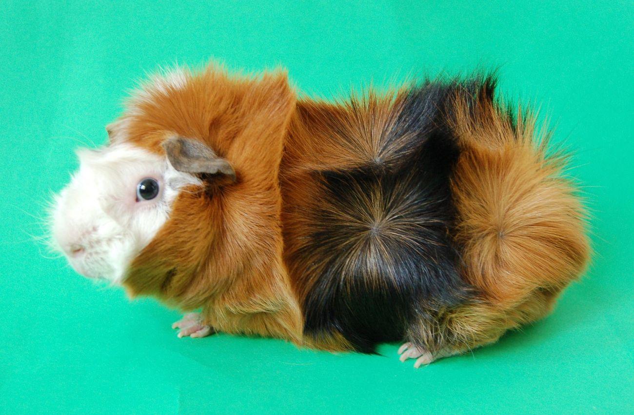 cochon d'Inde cobaye rosettes abyssinien