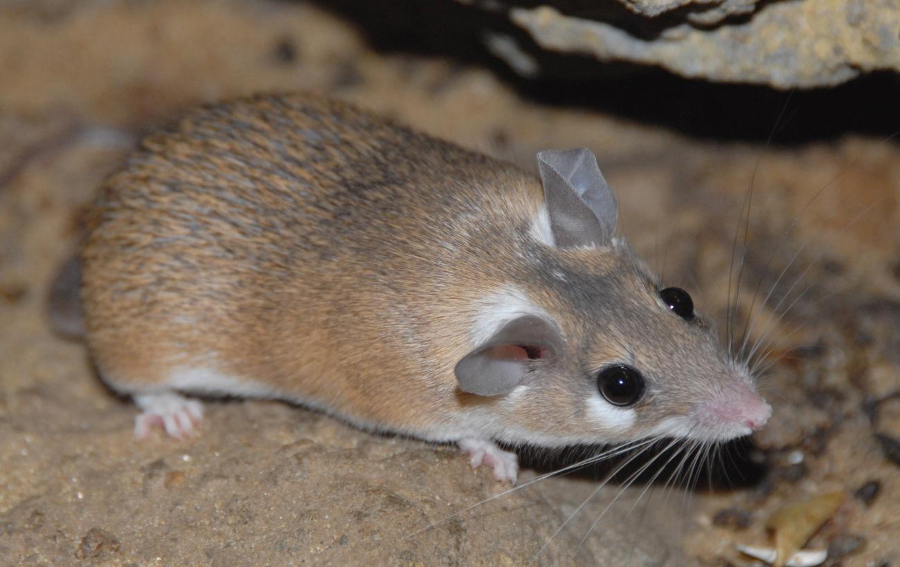acomys-cahirinus
