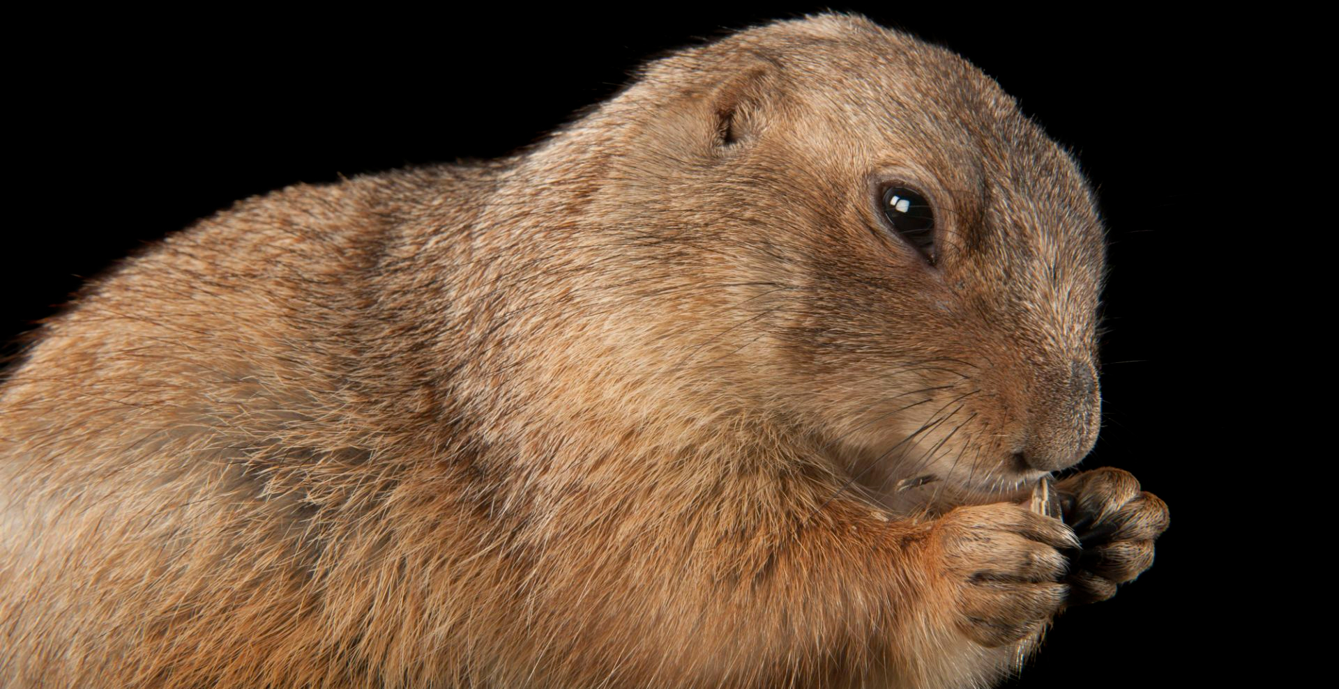 A black-tailed prairie dog (Cynomys ludovicianus) at Zoo Atlanta.