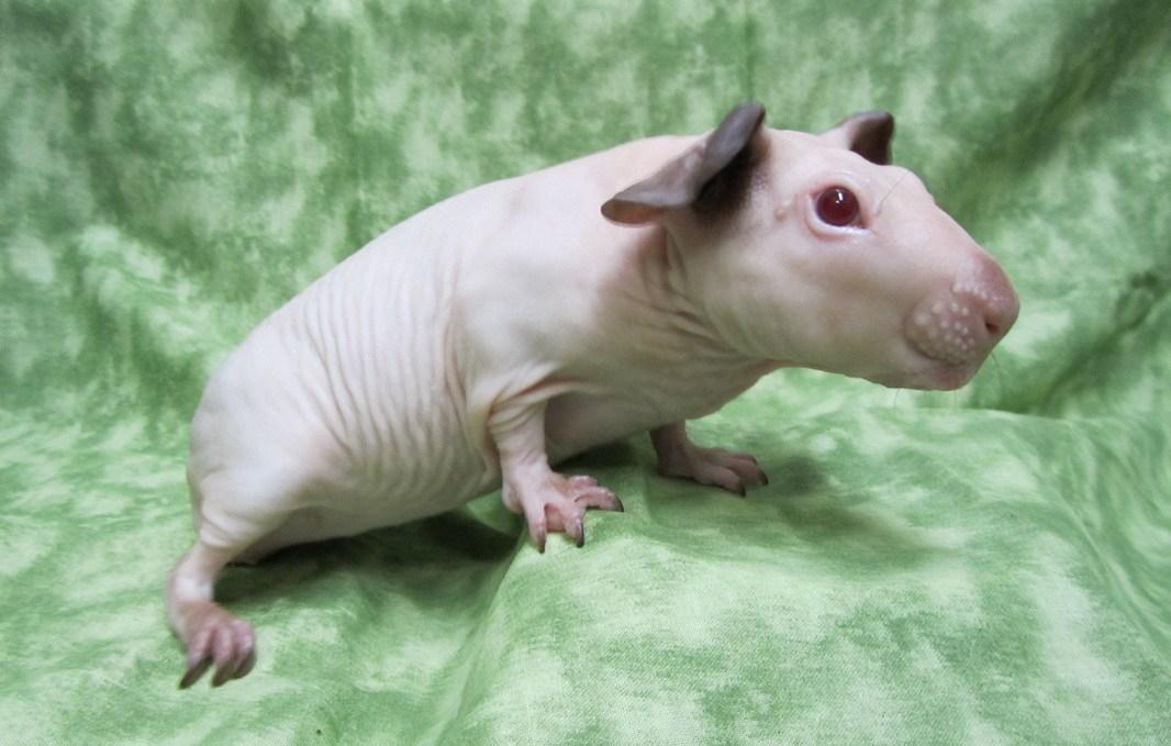 cobaye-cochon-dinde-baldwin-1.jpg
