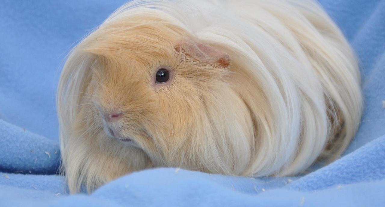 cobaye cochon d'inde péruvien