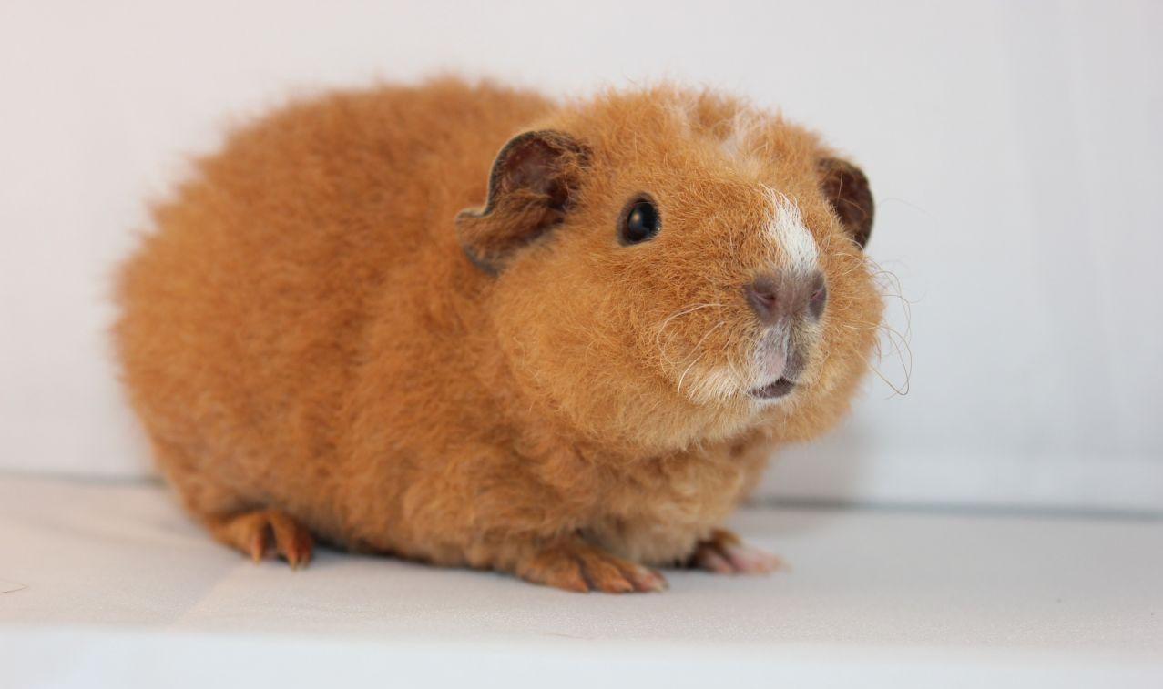 cobaye cochon d'inde teddy