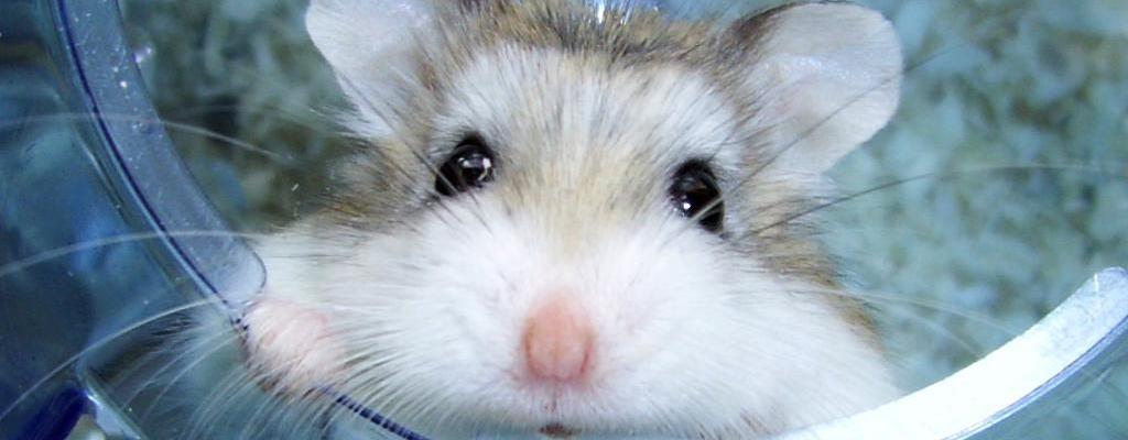 Les Couleurs Et Marquages Du Hamster De Roborovski Nac Magazine