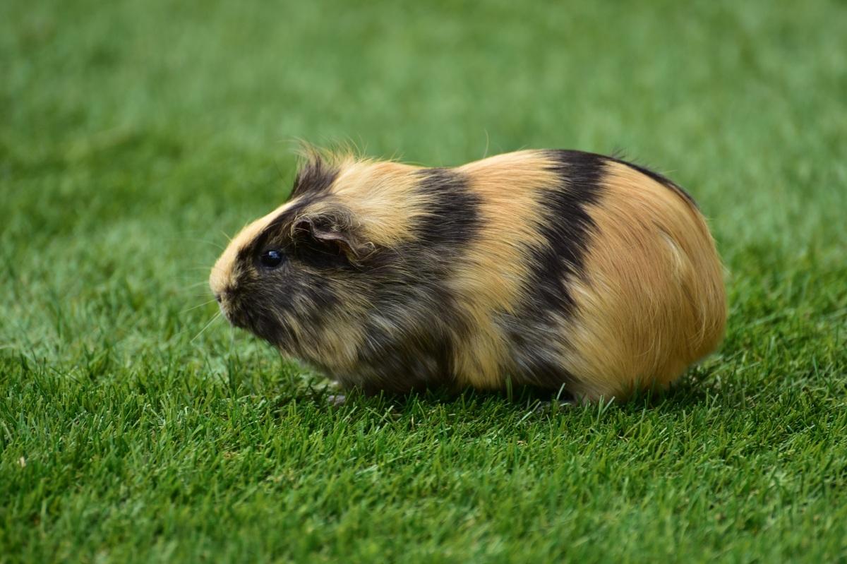 Mon cochon d'Inde a la diarrhée !