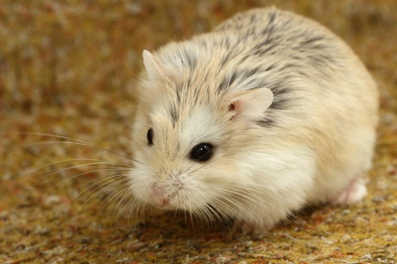 Hamster de roborovski canelle