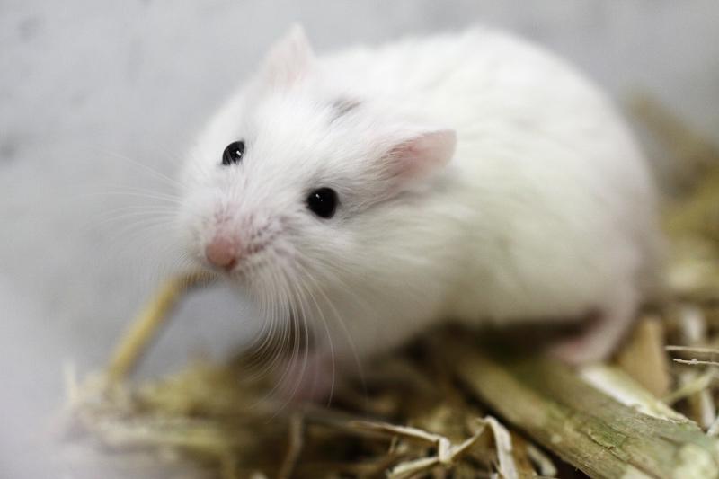 hamster de roborovski head spot.jpg