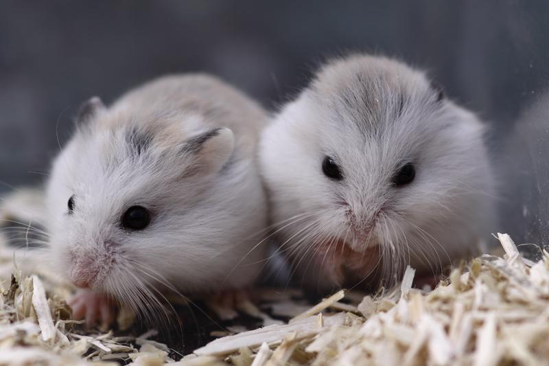 hamster de roborovski husky