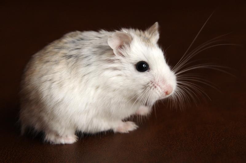 hamster de roborovski platinum