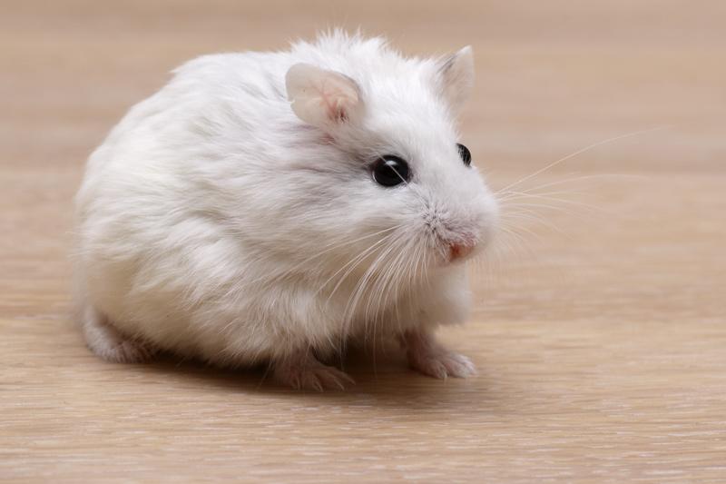 hamster de roborovski white