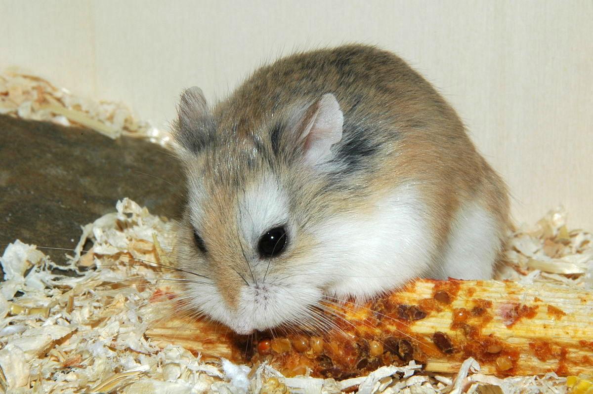 hamster phodopus roborovski
