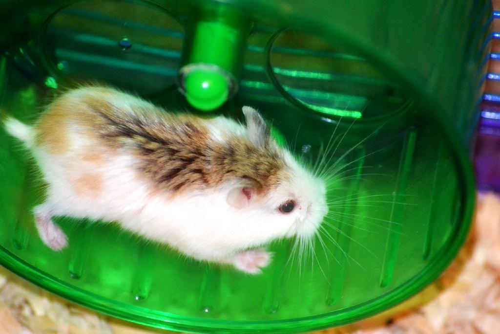 hamster roborovski mottled