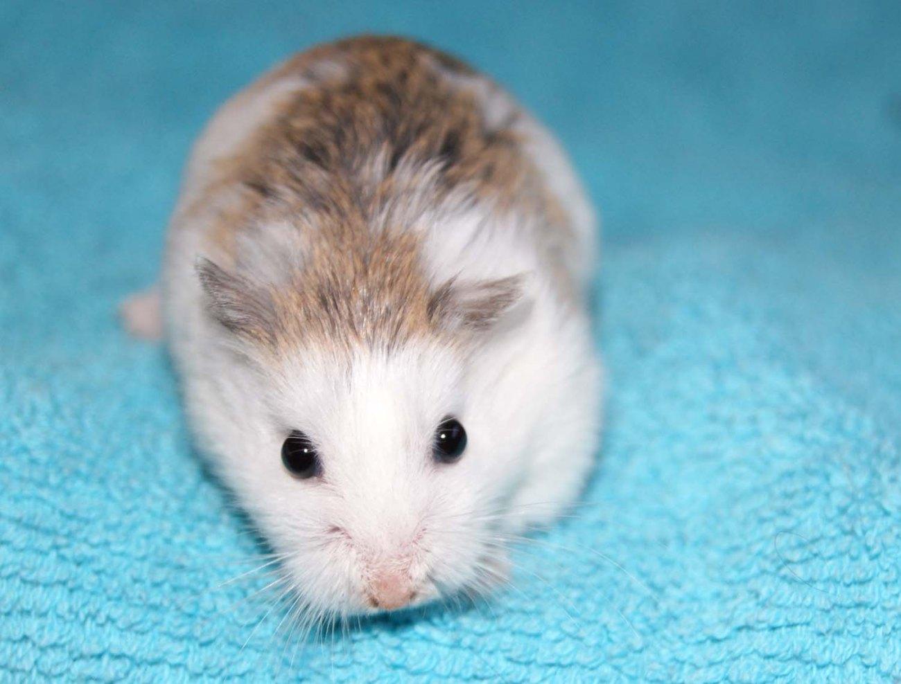 Hamster roborovski white face