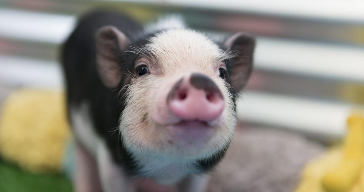 Cochon nain : que dit la loi ?