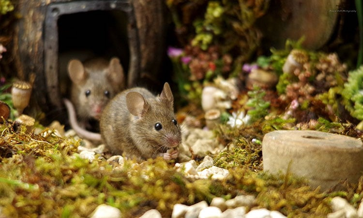 miniature-mice-family-simon-dell-16