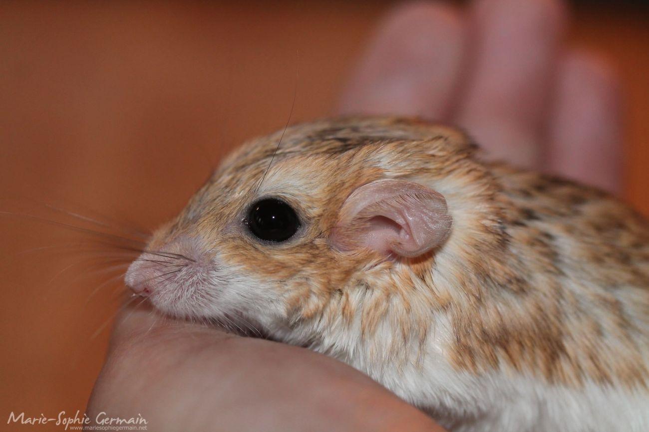 pachyuromys duprasi gerbille à queue grasse