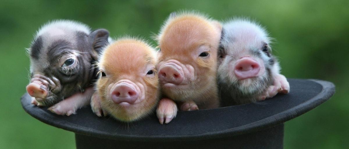 Un cochon nain a-t-il vraiment la même taille qu'un petit chien ?