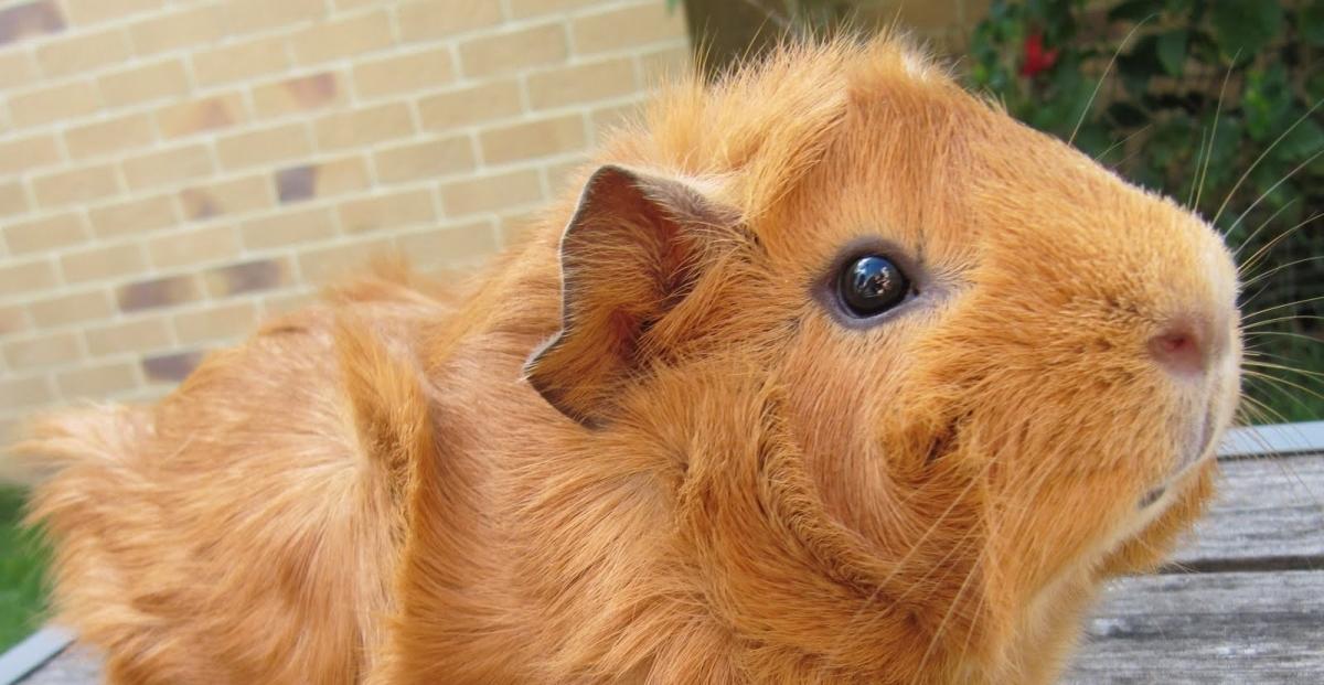 Mon cochon d'Inde vibre comme un téléphone portable !