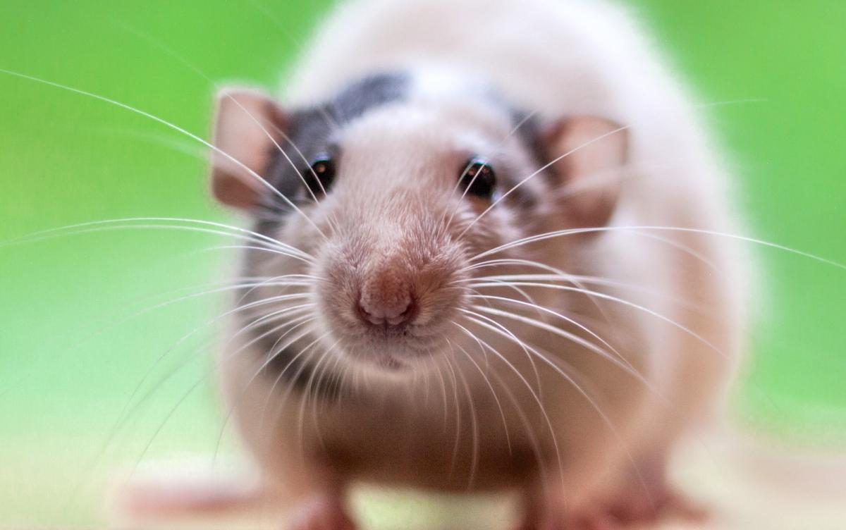 Rat : idées reçues et légendes urbaines
