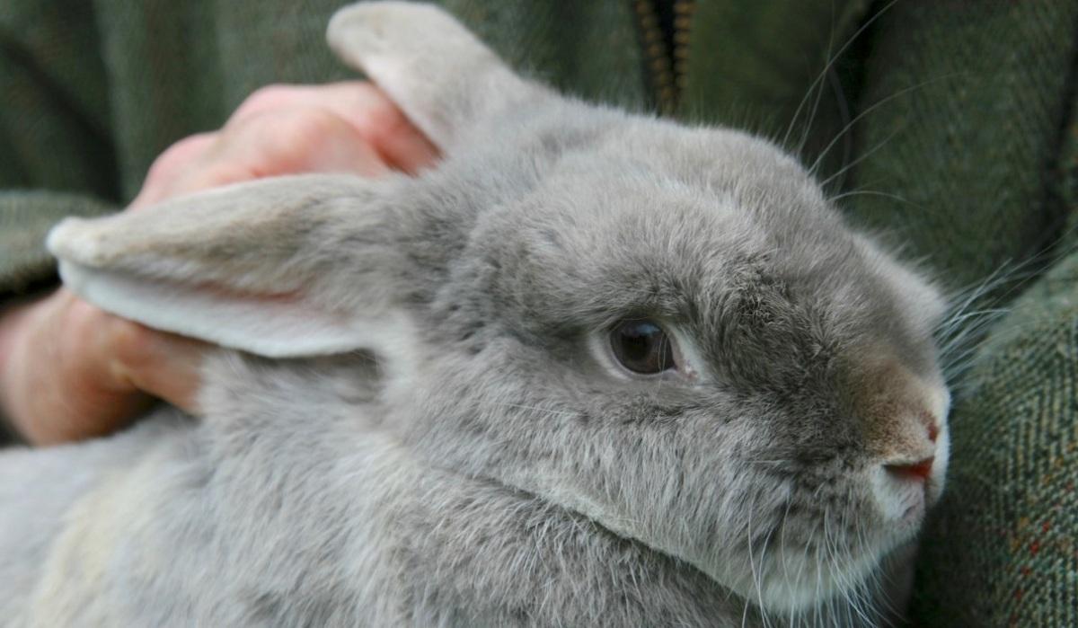 Le lapin est le NAC le plus abandonné