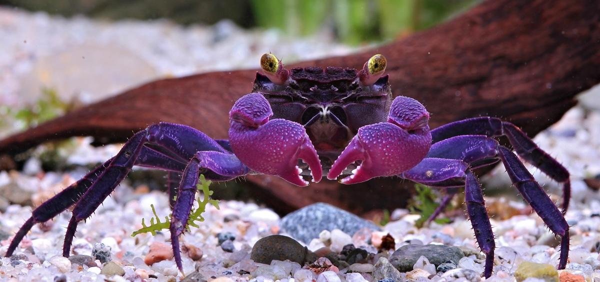Geosesarma dennerle, le crabe vampire